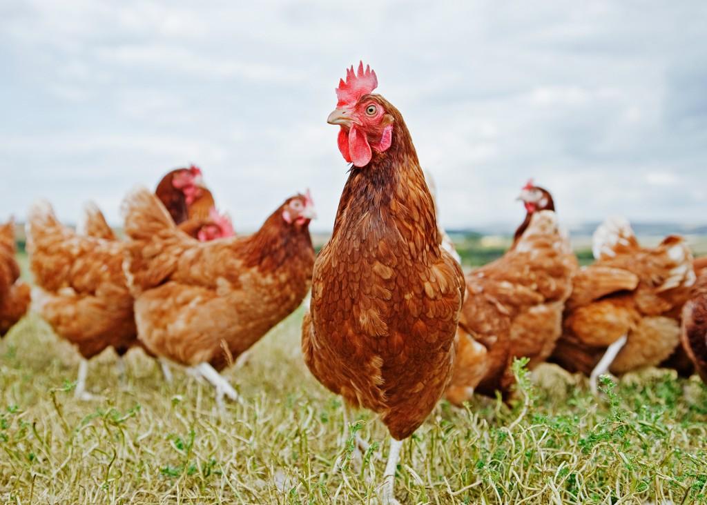 galline al pascolo
